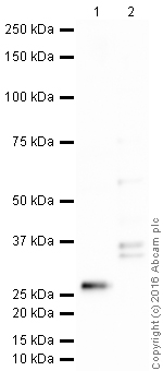 Western blot - Anti-Loricrin antibody (ab85679)