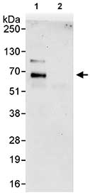 Immunoprecipitation - Anti-WDR20 antibody (ab85729)