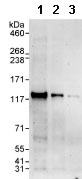 Western blot - Anti-POP1 antibody (ab85757)