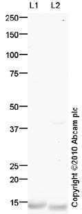 Western blot - Anti-FABP4 (phospho Y20) antibody (ab85875)