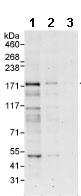 Western blot - Anti-CLASP1 antibody (ab85919)