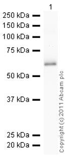 Western blot - Anti-Lipoamide Dehydrogenase antibody (ab85930)