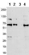 Western blot - Anti-KLF10 antibody (ab85970)