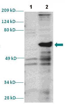 Western blot - Anti-Homeo box C10 antibody (ab86012)