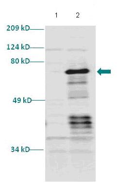 Western blot - Anti-Retinoid X Receptor alpha antibody (ab86027)