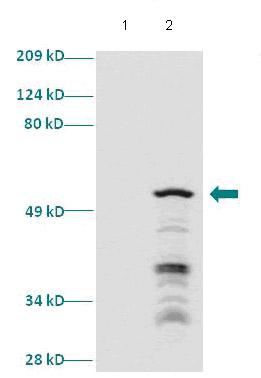 Western blot - Anti-SIX1 antibody (ab86028)