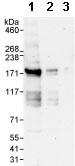 Western blot - Anti-ZBTB40 antibody (ab86330)