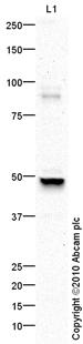 Western blot - c-Myc antibody (ab86356)