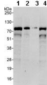 Western blot - Anti-WDR70 antibody (ab86366)