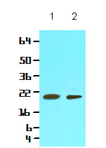 Western blot - Cyclophilin F antibody [AT1F5] (ab86425)