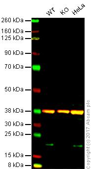 Western blot - Anti-Cyclophilin F antibody [AT1F5] (ab86425)