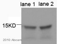 Western blot - Anti-GABARAPL1 antibody (ab86497)