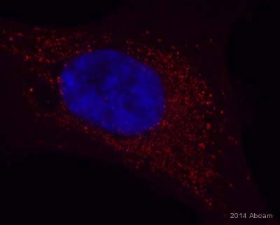 Immunocytochemistry/ Immunofluorescence - Anti-GABARAPL1 antibody (ab86497)
