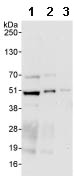 Western blot - Anti-SH3 containing Grb 2 like 1 protein antibody (ab86605)