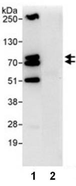 Immunoprecipitation - Anti-CCDC82 antibody (ab86779)