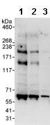 Western blot - Anti-USP32 antibody (ab86792)
