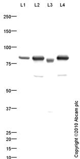 Western blot - CD26 antibody - Spacer region (ab86806)