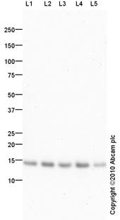 Western blot - Anti-ROC1 antibody (ab86862)