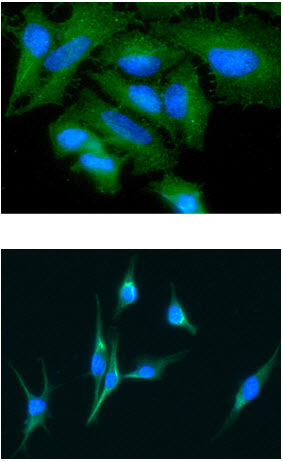 Immunocytochemistry/ Immunofluorescence - Anti-Growth Arrest Specific Protein 7 antibody [AT4H8] (ab87719)