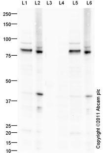 Western blot - Anti-PKC epsilon (phospho S729) antibody (ab88241)