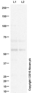 Western blot - Anti-PSAP antibody (ab88251)