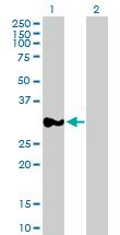 Western blot - Anti-P15RS antibody (ab88304)