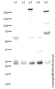 Western blot - Anti-PGRMC1 antibody (ab88381)