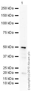 Western blot - Anti-Semaphorin 3B antibody (ab88489)