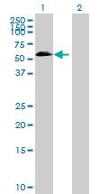 Western blot - Anti-OSGIN2 antibody (ab88829)