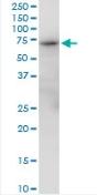 Western blot - Anti-GBP2 antibody (ab88889)
