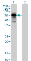 Western blot - Anti-PPP1R16A antibody (ab89135)