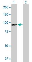 Western blot - Anti-GOLGA5 antibody (ab89136)
