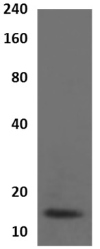 Western blot - Anti-Cystatin A antibody [MM0227- 2D26] (ab89262)