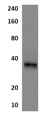 Western blot - Anti-IGFBP2 antibody [MM0341-6T32] (ab89330)