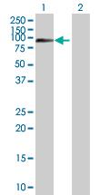 Western blot - Anti-TLE 1 antibody (ab89782)