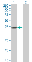 Western blot - Anti-DUSP12 antibody (ab89827)