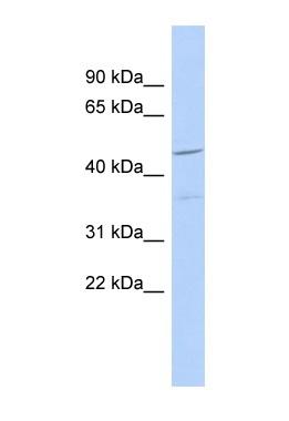 Western blot - Anti-FAM81A antibody (ab89948)