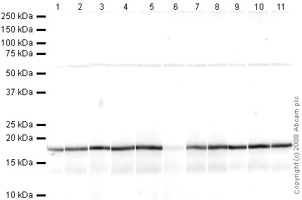 Western blot - Anti-Histone H3 (mono methyl K9) antibody - ChIP Grade (ab9045)