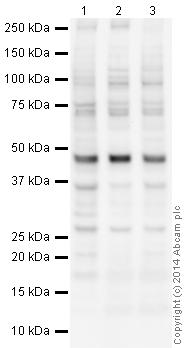 Western blot - Anti-HP1 alpha antibody - Heterochromatin marker (ab9057)