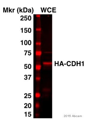 Western blot - Anti-HA tag antibody (ab9134)