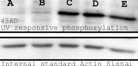 Western blot - Anti-Phosphoserine antibody (ab9332)