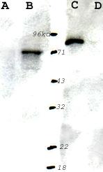 Western blot - Anti-S6K1 antibody (HRP) (ab9367)
