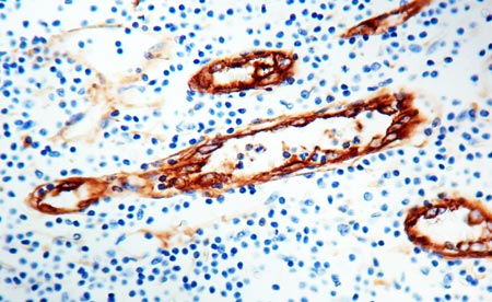 Immunohistochemistry (Formalin/PFA-fixed paraffin-embedded sections) - Anti-Von Willebrand Factor antibody (ab9378)