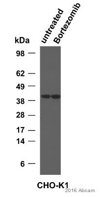 Western blot - Anti-GAPDH antibody [mAbcam 9484] - Loading Control (ab9484)