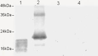 Western blot - Anti-VEGFC antibody (ab9546)