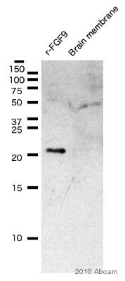 Western blot - Anti-FGF9 antibody (ab9743)