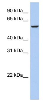 Western blot - Anti-FBXO33 antibody (ab90046)
