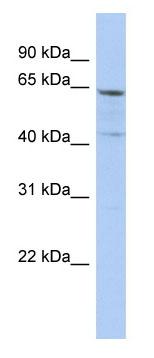 Western blot - Anti-SLC32A1 antibody (ab90148)