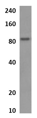 Western blot - Anti-IL1RAPL2 antibody [MM0354-4R29] (ab90454)