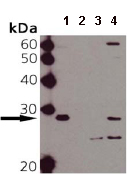 Western blot - Anti-Hsp27 (phospho S15) antibody (ab90538)